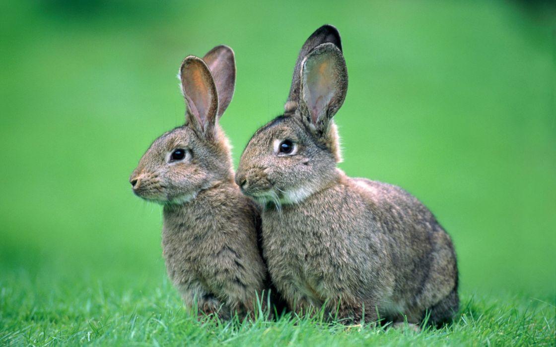 two rabbits wallpaper