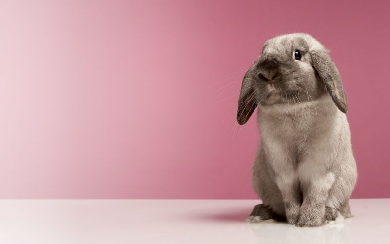 shy rabbit wallpaper