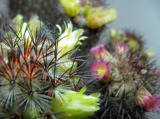 nature plants cactus flowers wallpaper wallpaper