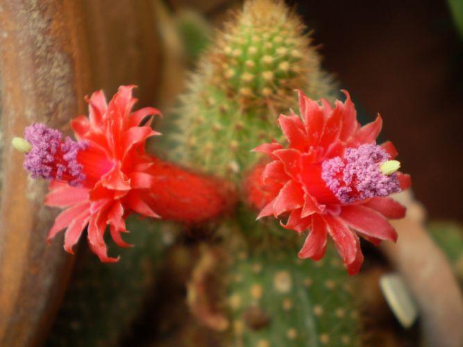 nature plants cactus flowers wallpaper wallpaper