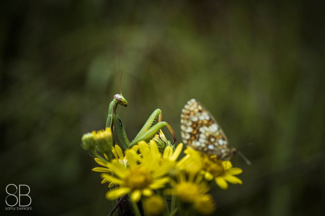 green insects bug mantis macro close up nature wallpaper butterfly spider wallpaper
