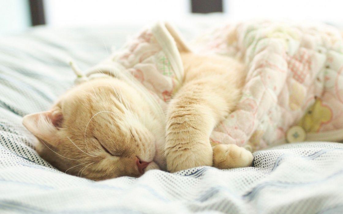 cat animal sleep pet wallpaper