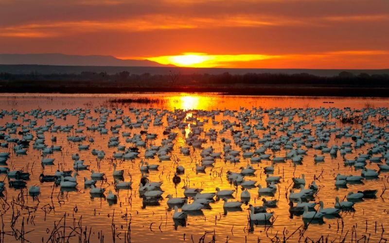 sunset ducks lake nature wallpaper