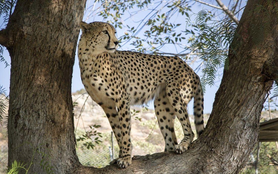 leopard nature big cat predator wallpaper