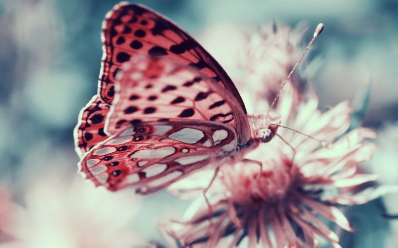 pink butterfly animal insect flower wallpaper