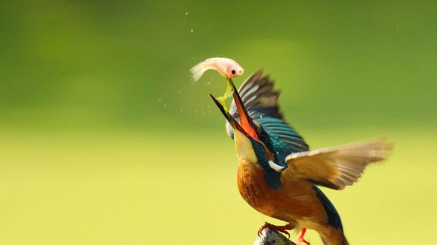 kingfisher alcedo atthis fish fishing wallpaper