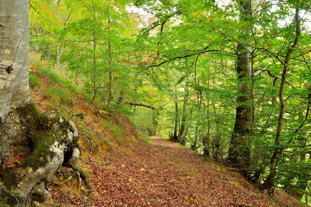 forest trees nature wallpaper