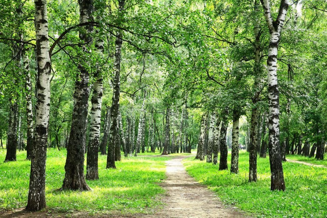 Forest Summer Birch Trail Grass Nature wallpaper
