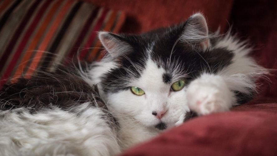cat fluffy look wallpaper