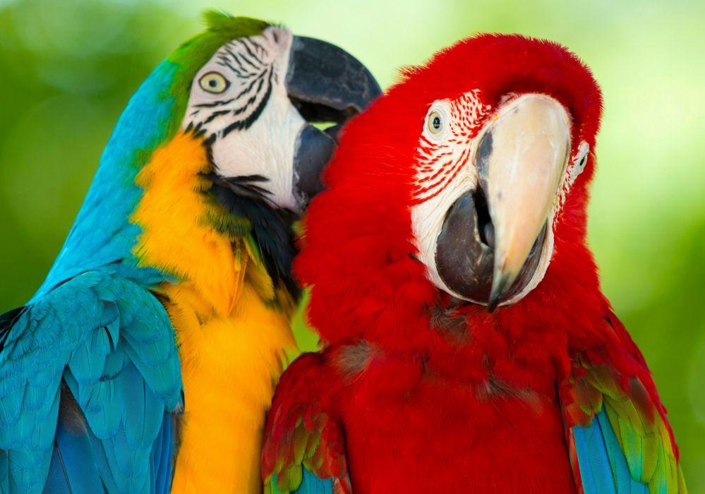 parrot macaw bird y wallpaper
