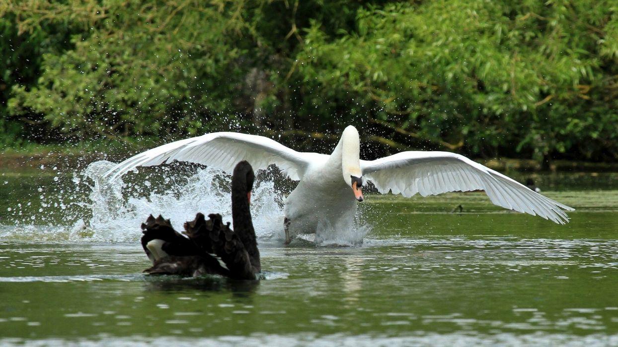 Swans Birds Run Wings Swan Wallpaper