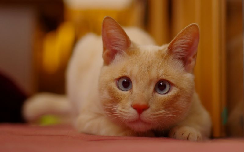 cat red muzzle eyes wallpaper