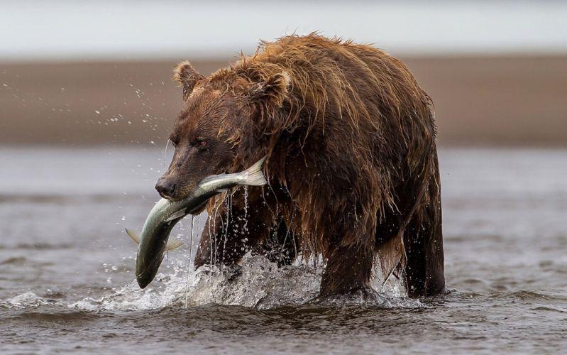 bear fish trout river catch fishing wallpaper