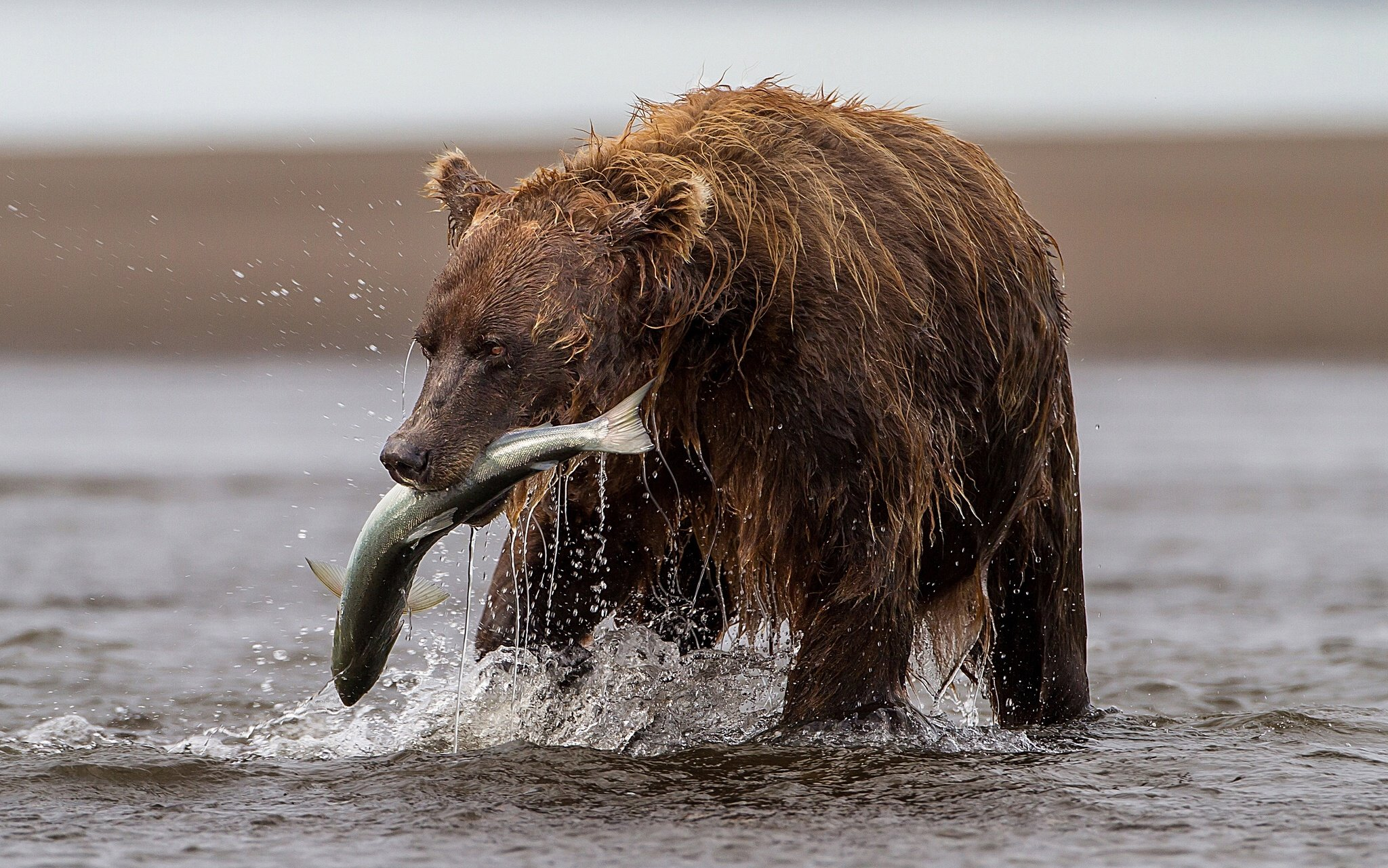 Bear fish trout river catch fishing wallpaper 2048x1281 for Bear catching fish