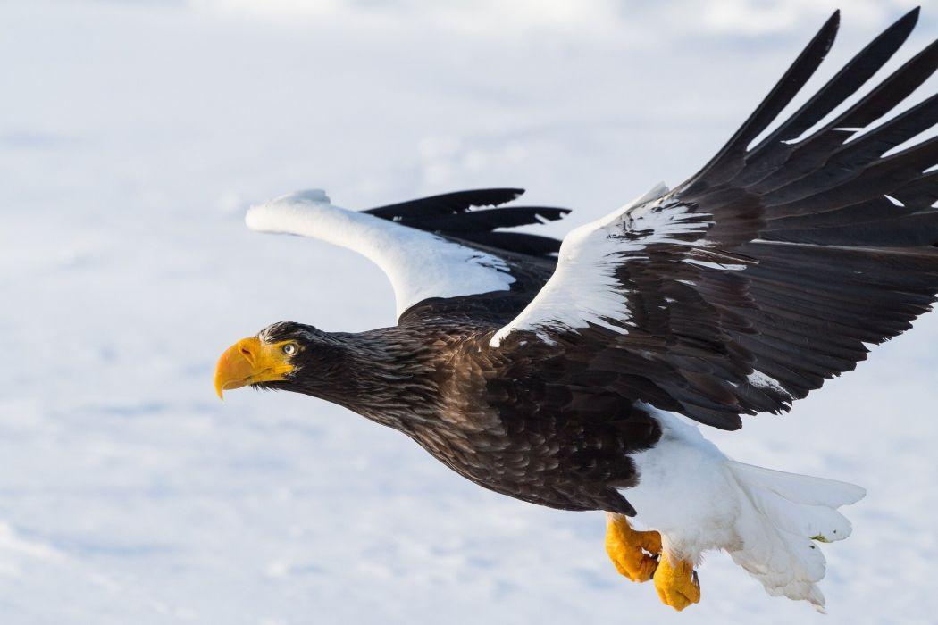 sea eagle bird predator flight wings wallpaper