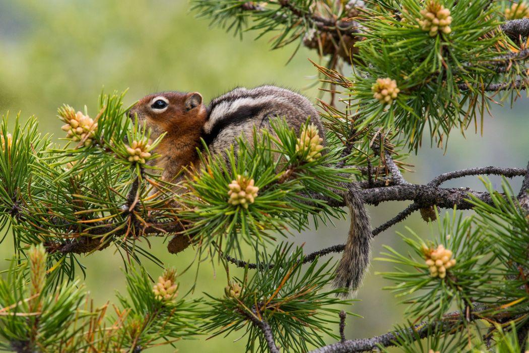 pine tree branches needles chipmunk squirrel wallpaper