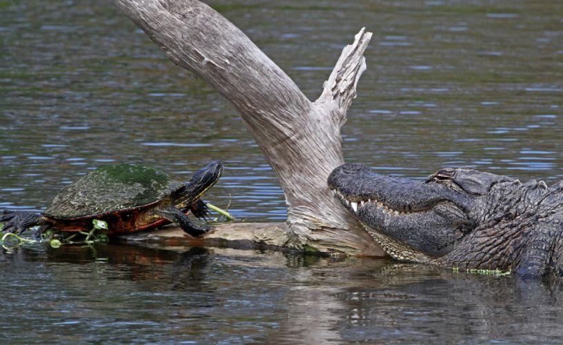 turtle crocodile meeting timber water wallpaper