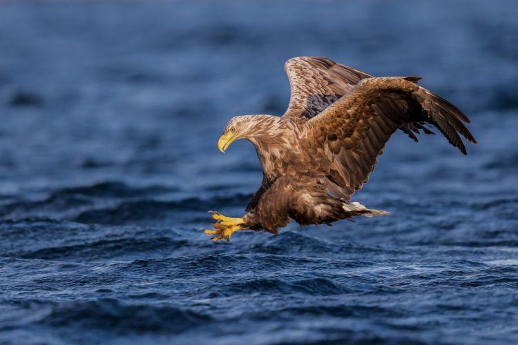 eagle bird wings fishing water wallpaper