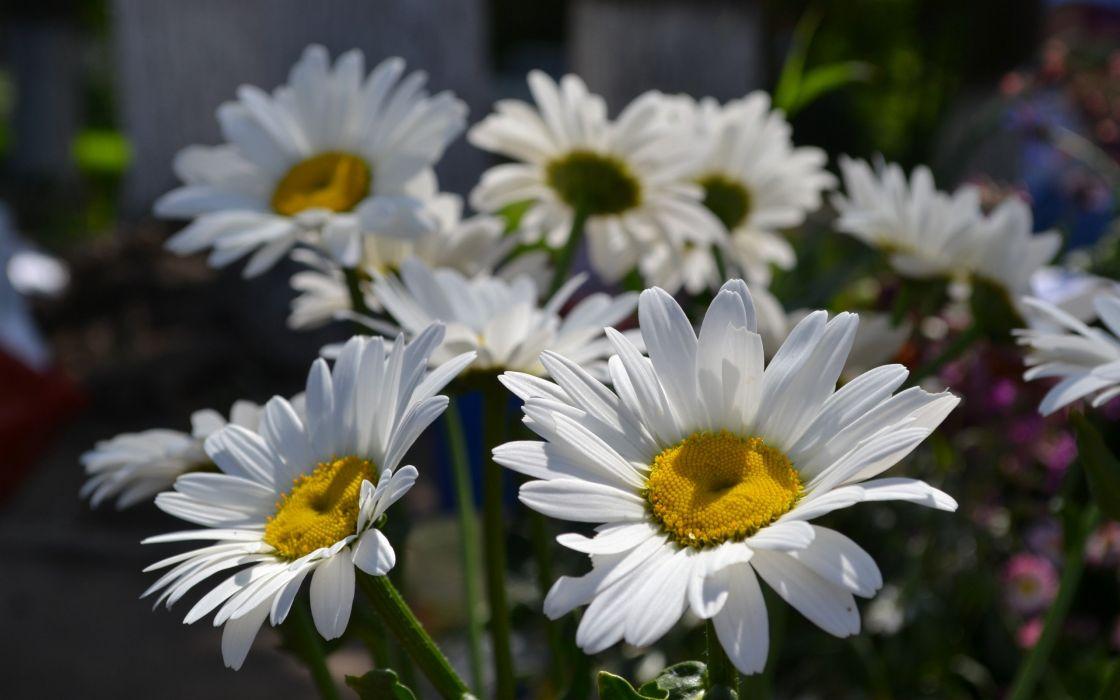 daisy nature flower white green wallpaper
