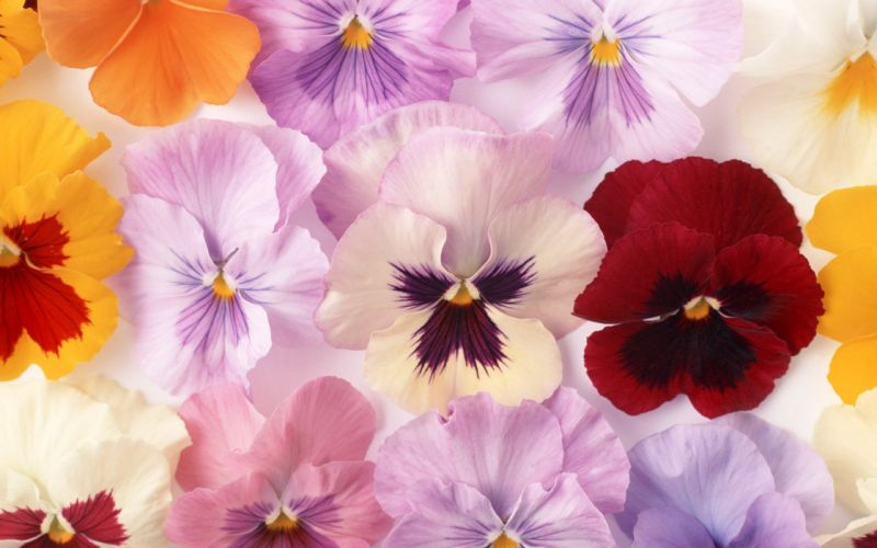 flower beautiful nature plant flowers red yellow white pink colors wallpaper