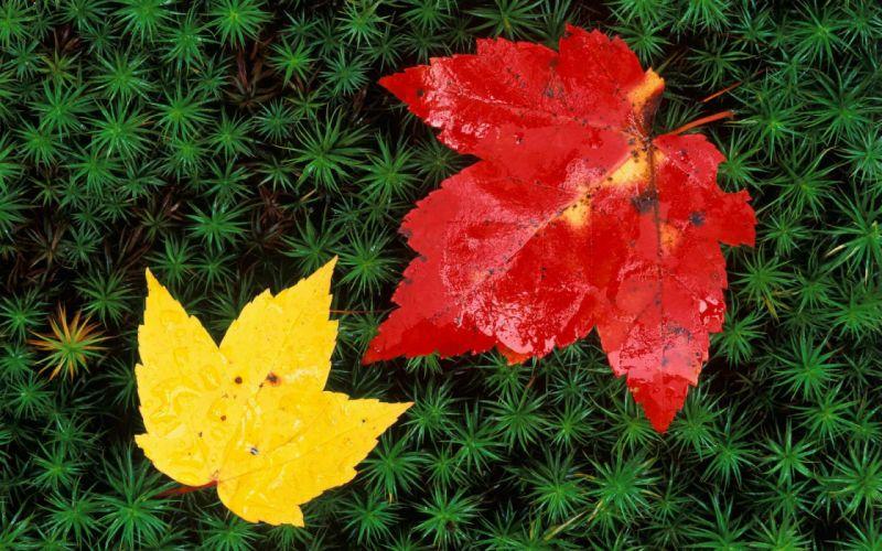macro nature leaves red yellow wallpaper