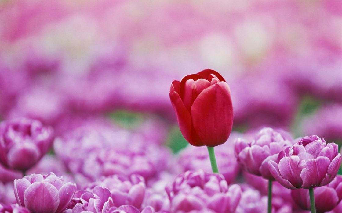 macro nature tulips flowers wallpaper