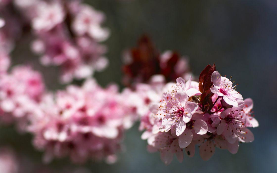macro nature flowers pink wallpaper