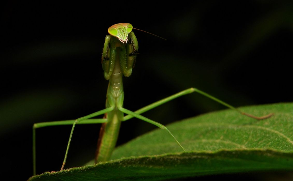 insects mantis mante religieuse nature macro closeup zoom wallpaper