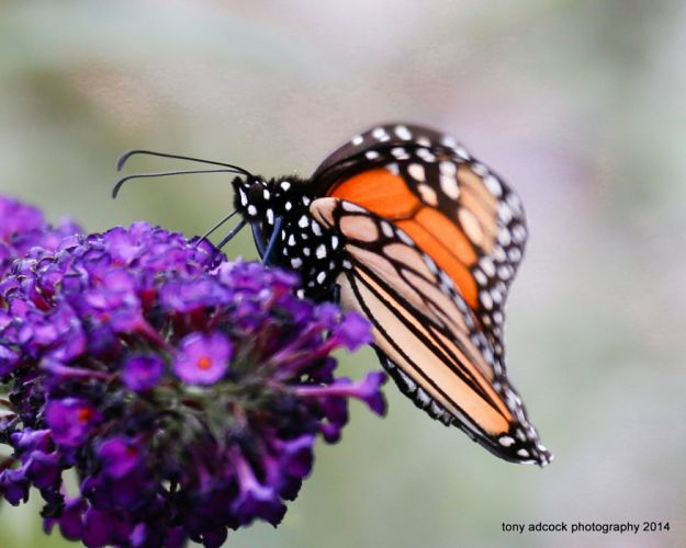 Butterfly nature insects macro zoom close-up wallpaper wallpaper