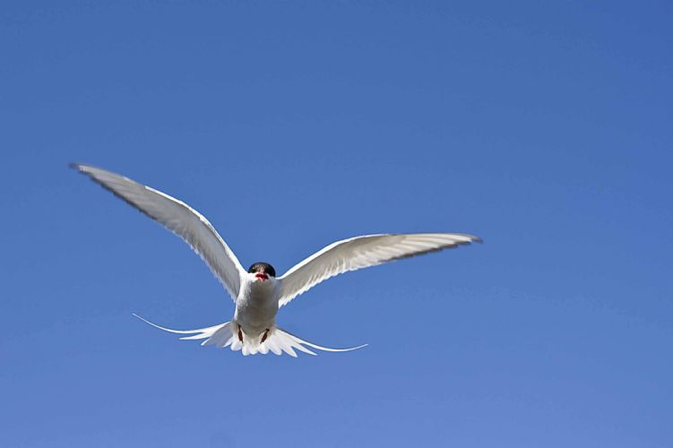 ARCTIC-TERN arctic tern bird wallpaper