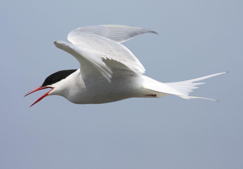 ARCTIC-TERN arctic tern bird wallpaper