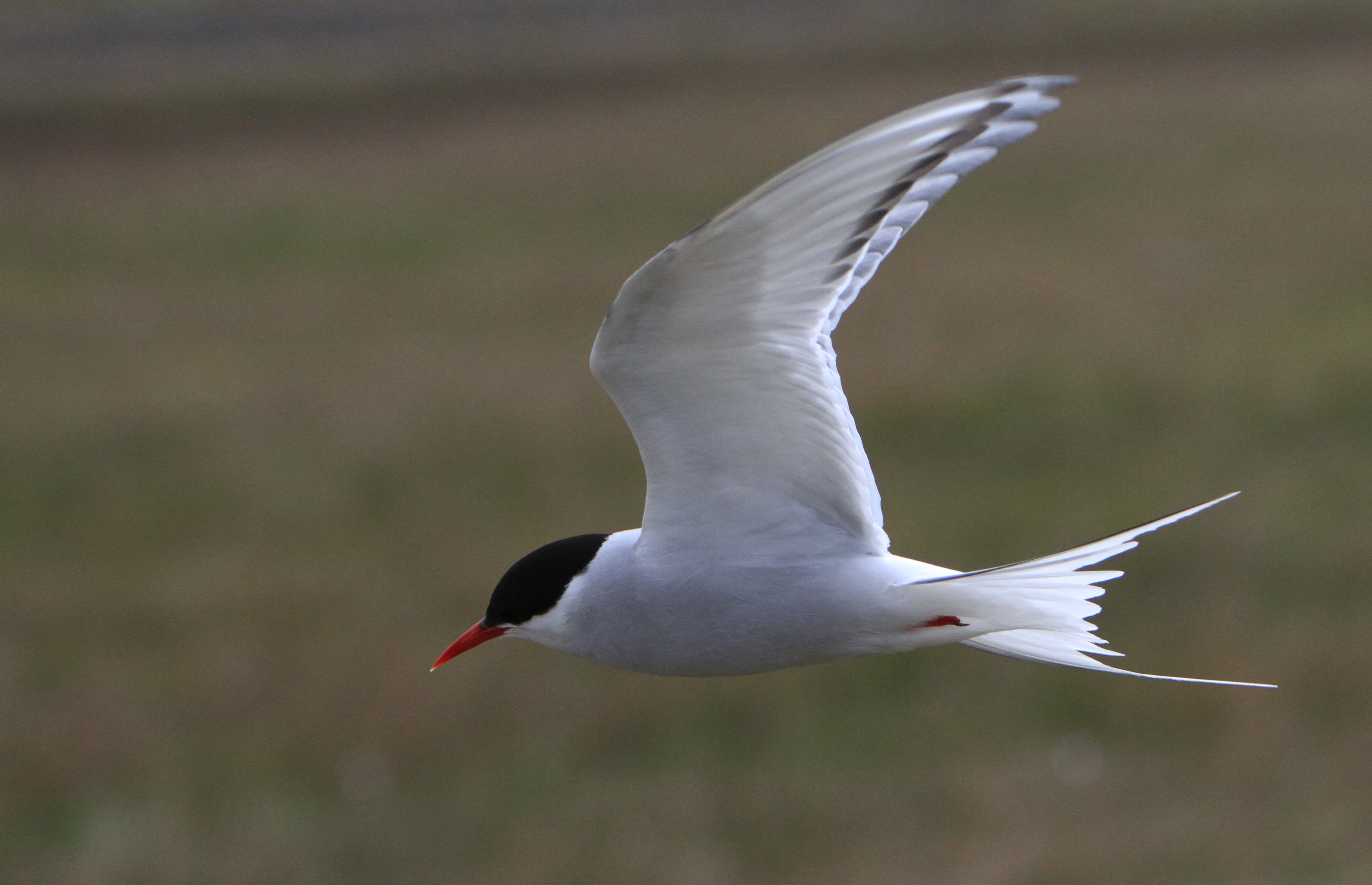 ARCTIC-TERN arctic tern bird wallpaper | 4685x3024 ...
