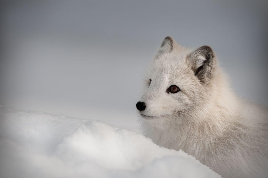 Arctic Fox Foxes Wallpaper 8512x5664 466981 Wallpaperup