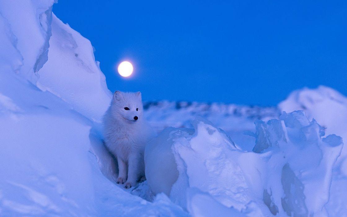 ARCTIC FOX foxes wallpaper