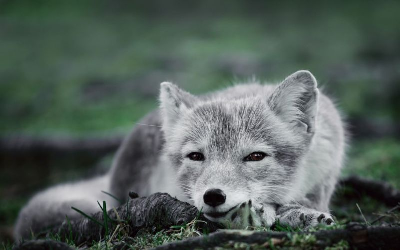 ARCTIC FOX foxes wallpaper