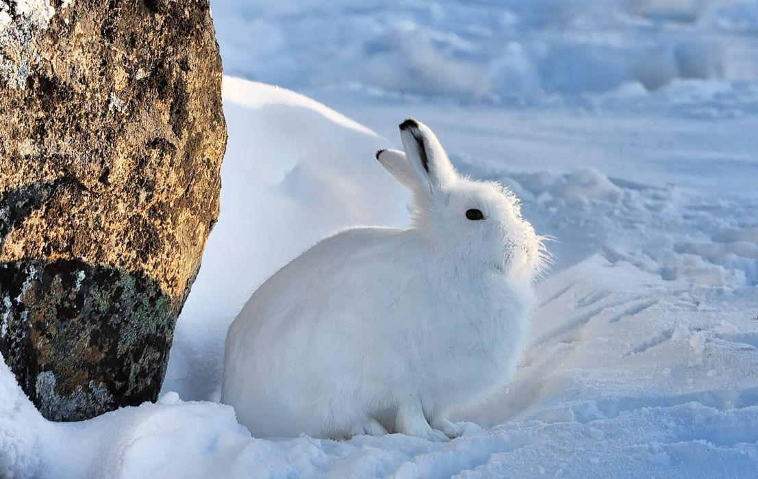 ARCTIC HARE rabbit rabbit wallpaper