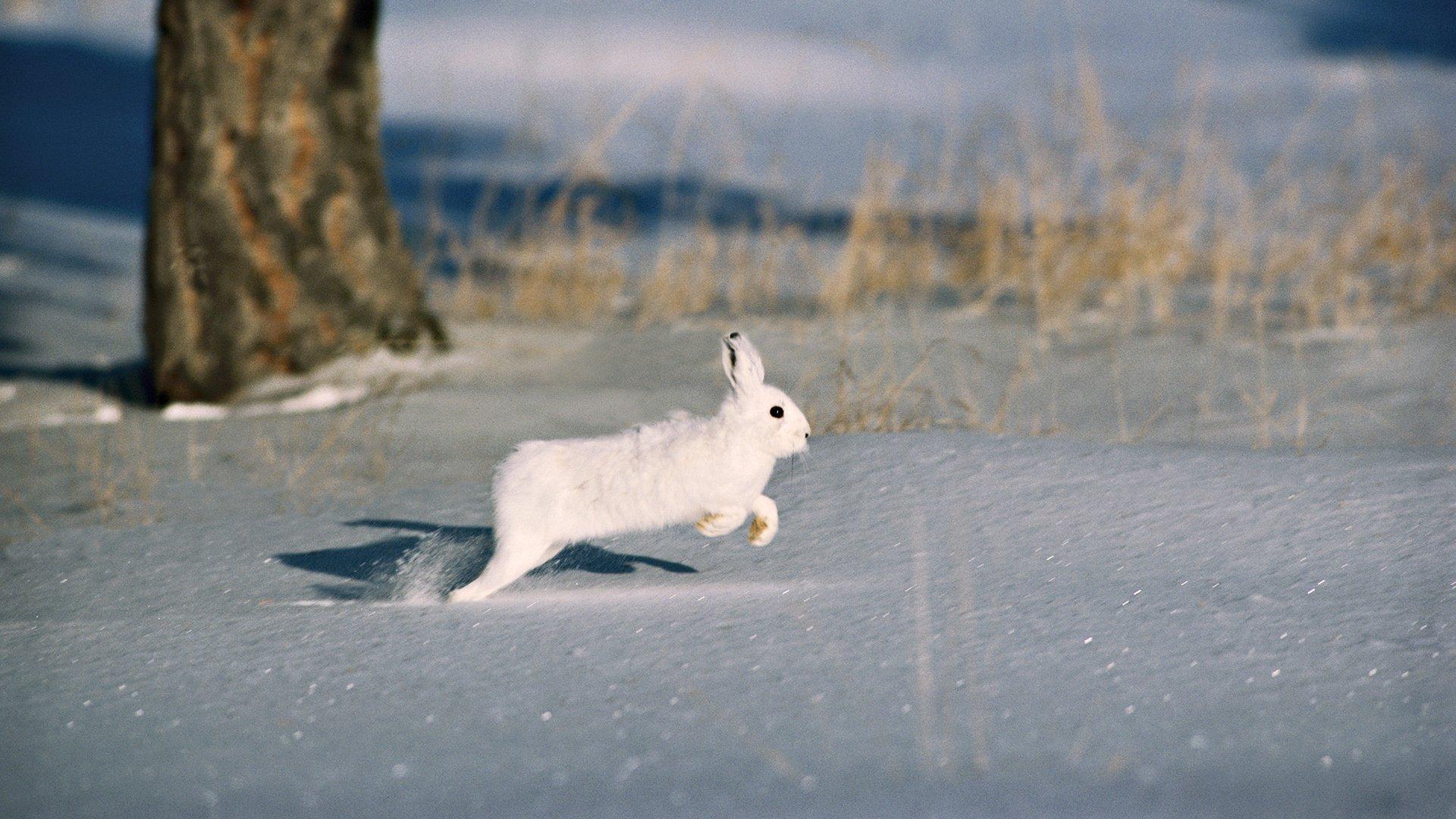 ARCTIC HARE rabbit rabbit wallpaper | 1920x1080 | 467032 ...
