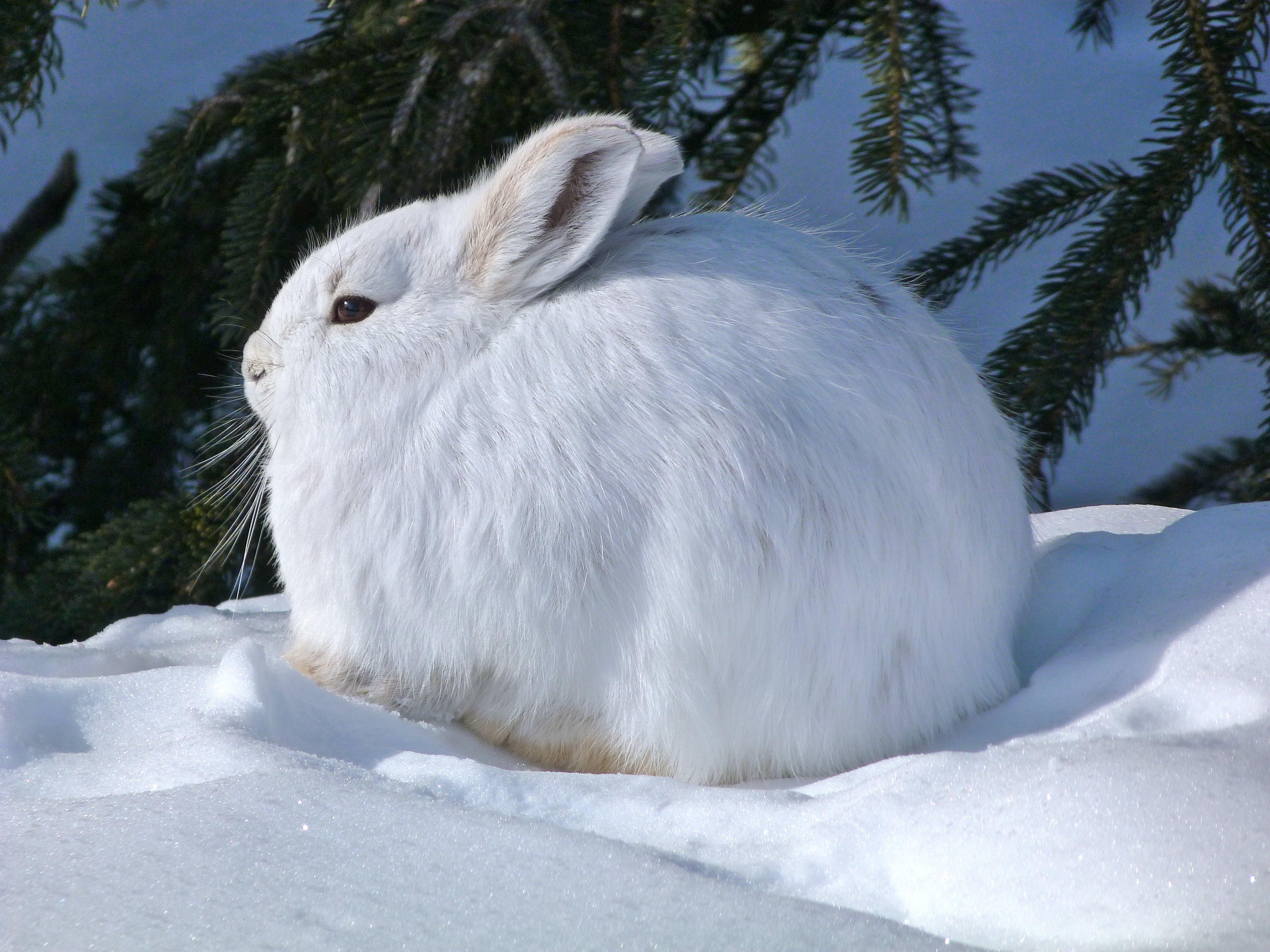 Arctic Hare Wallpaper | www.pixshark.com - Images ...
