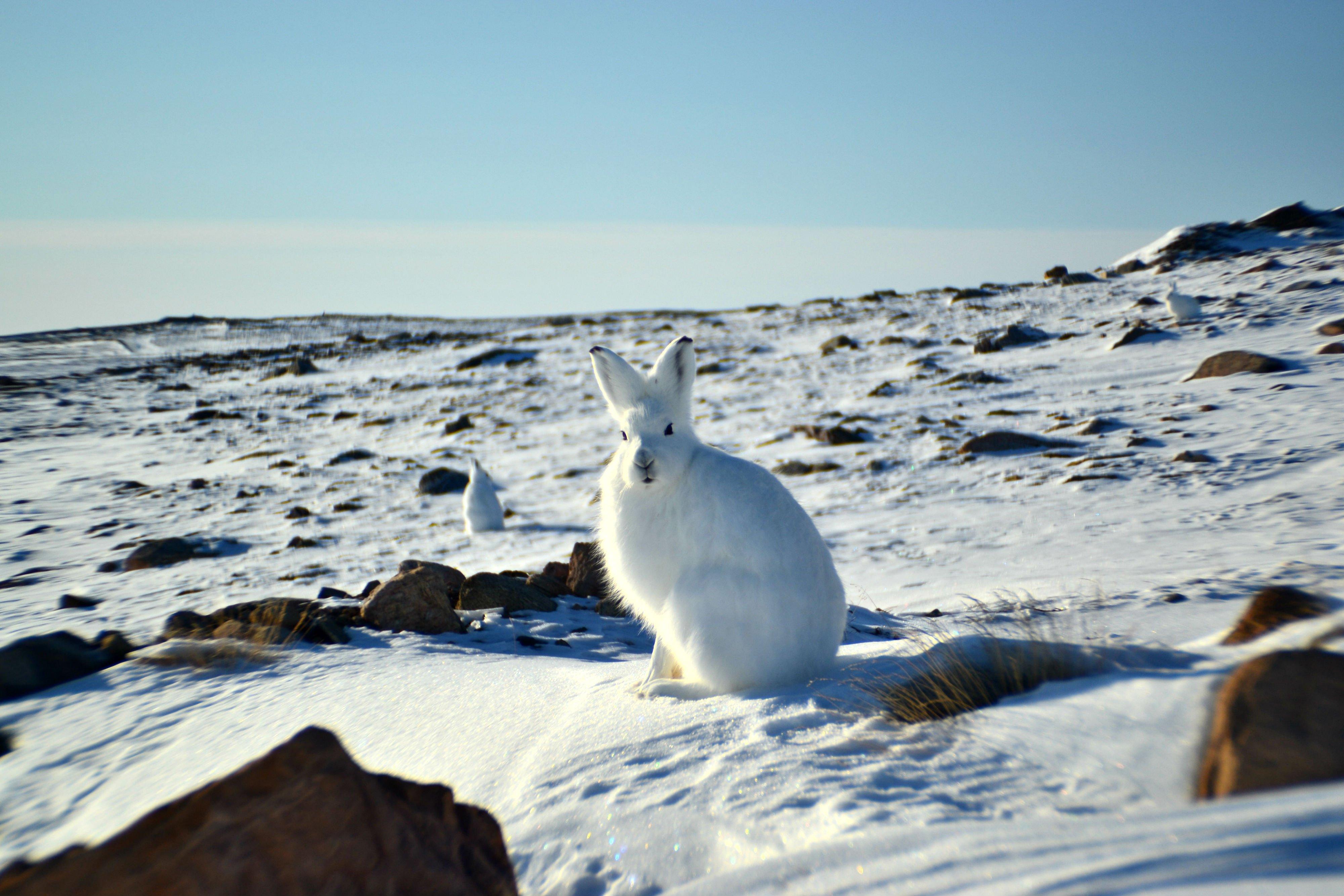 ARCTIC HARE rabbit rabbit wallpaper | 4000x2667 | 467038 ...