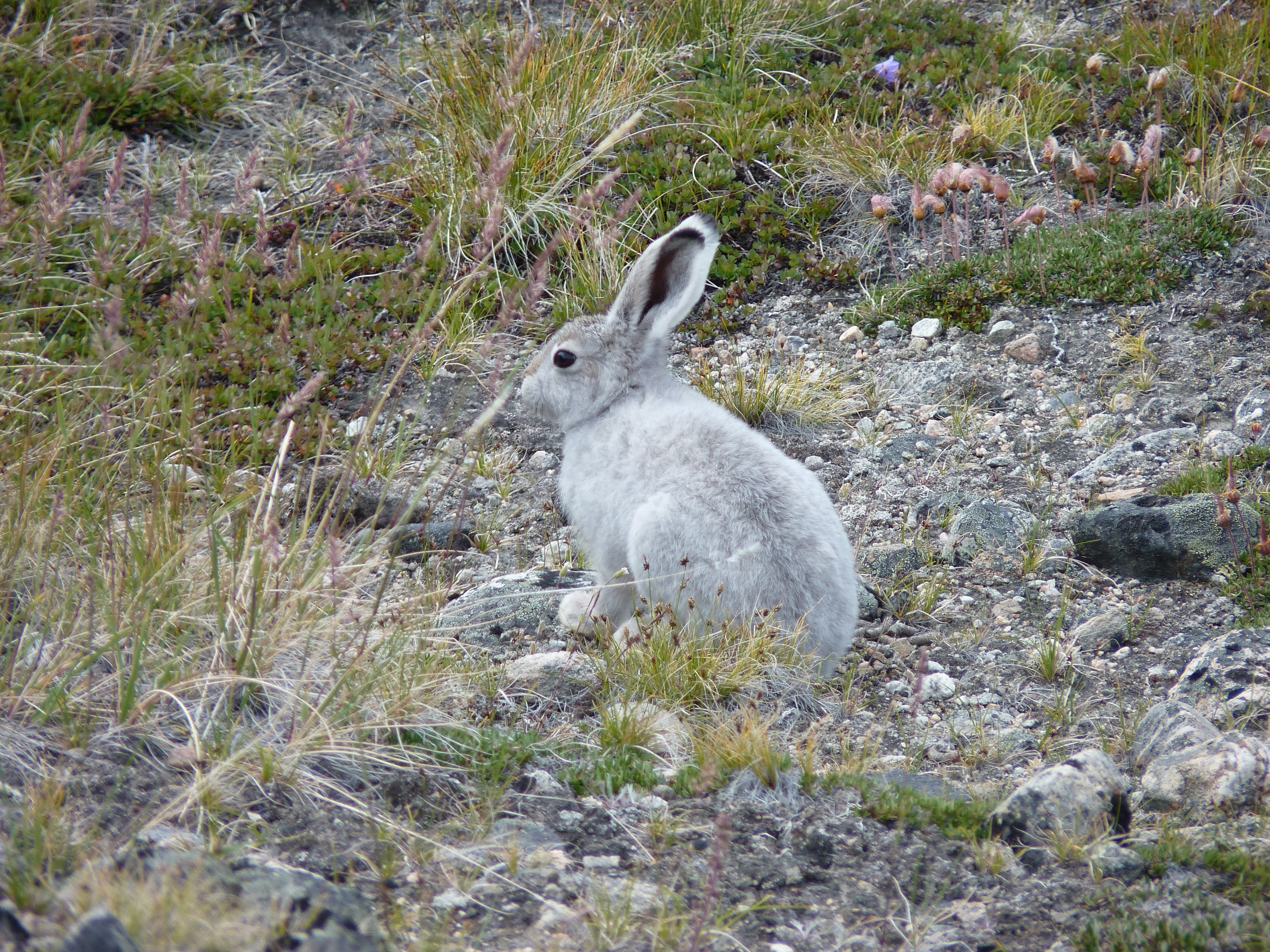 ARCTIC HARE rabbit rabbit wallpaper | 4000x3000 | 467040 ...