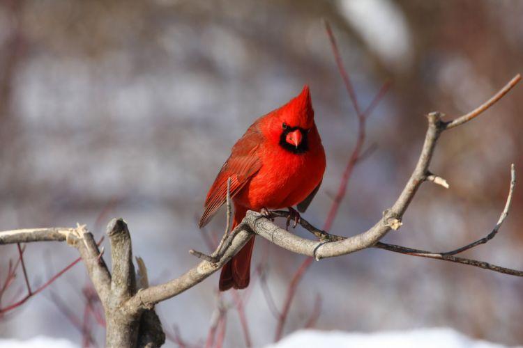 Cardinal bird red winter wallpaper