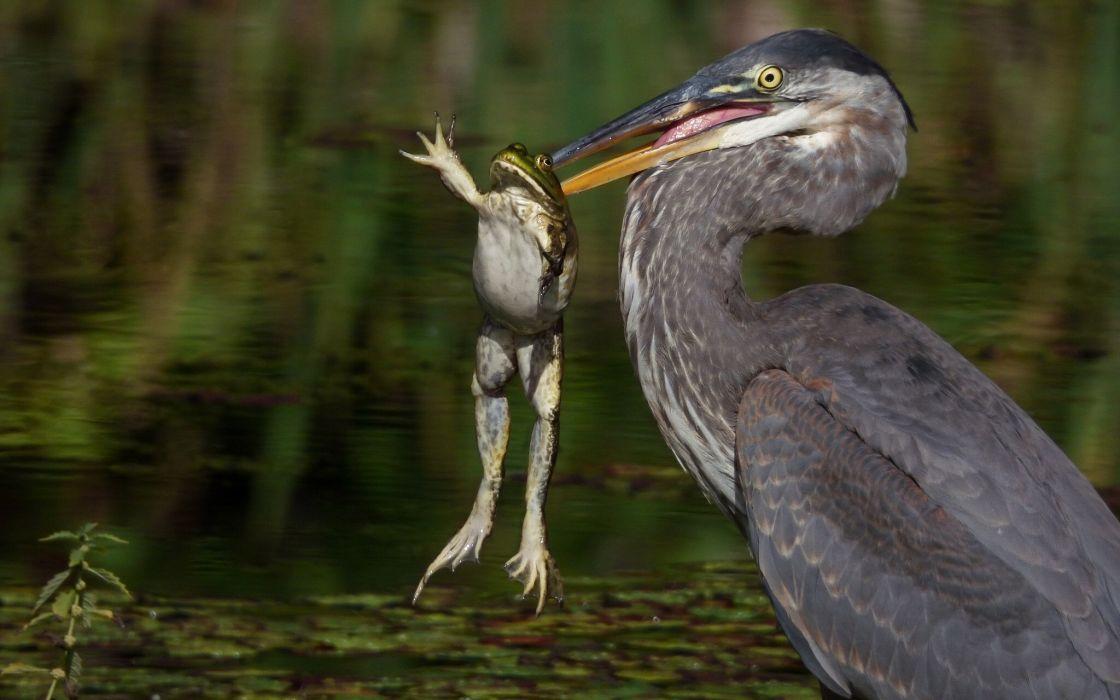 heron frog fishing hunting wallpaper