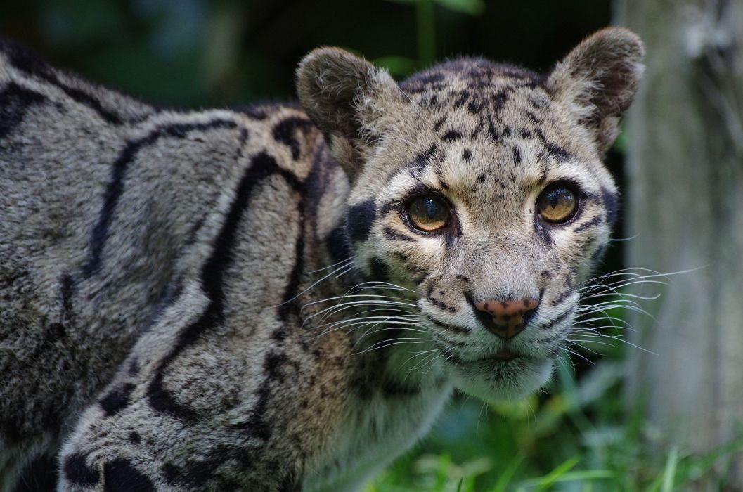 clouded leopard wild cat predator face wallpaper