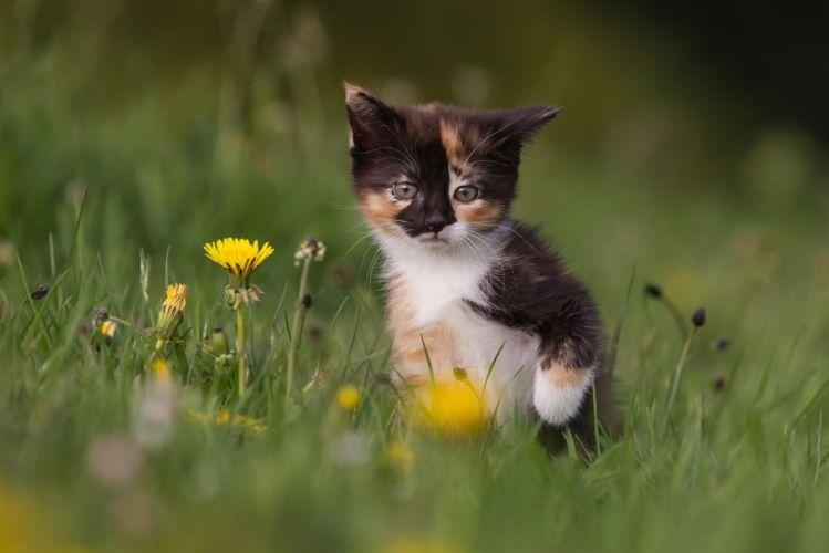 kitten dandelions flowers wallpaper