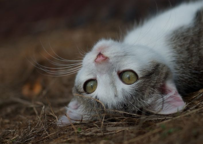 kitten puss eyes whiskers wallpaper