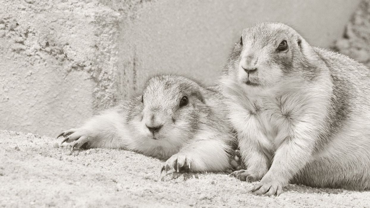 prairie dog rodents couple black and white wallpaper