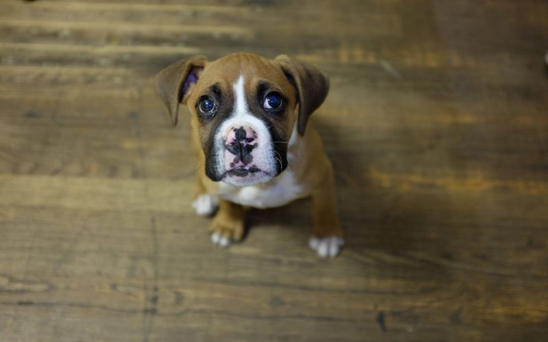dog puppy boxer look wallpaper