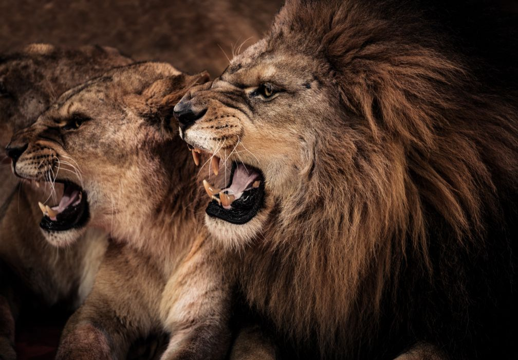 canines cats couple lioness lion profile wallpaper