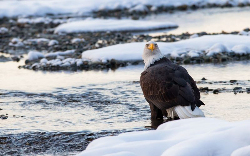 bald eagle bird predator snow winter wallpaper