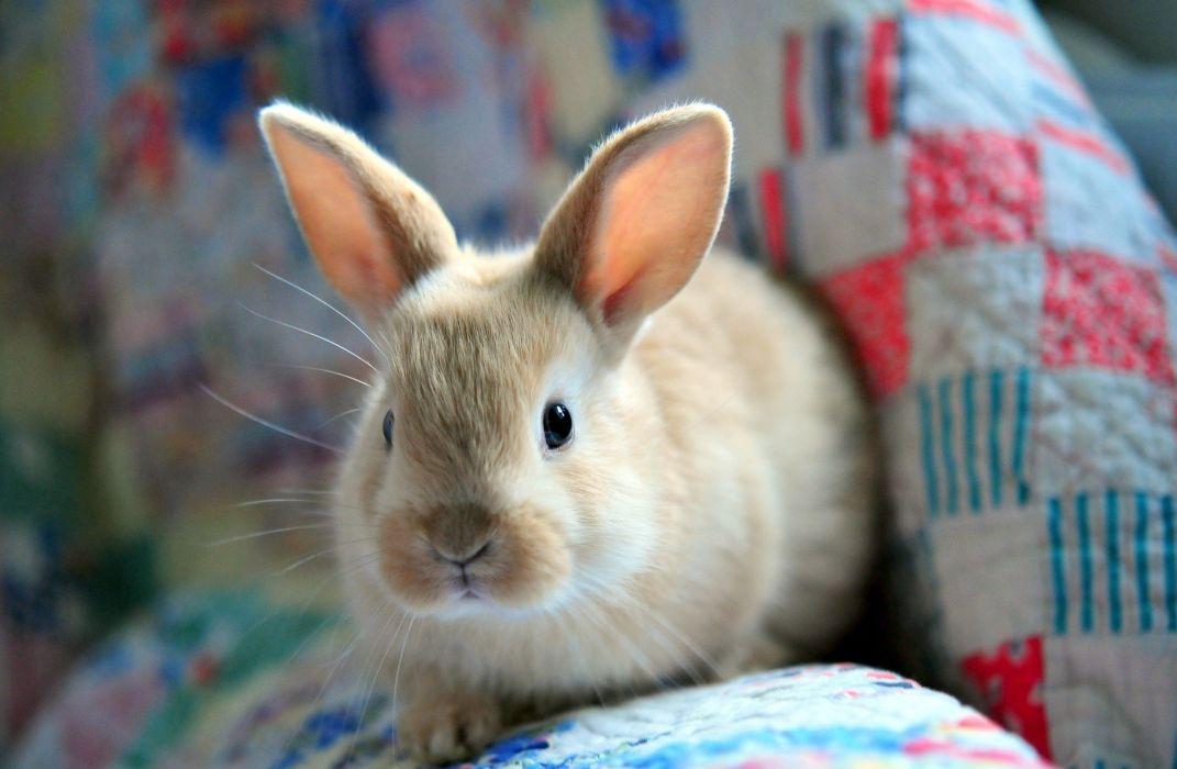 bunny fluffy rabbit easter wallpaper